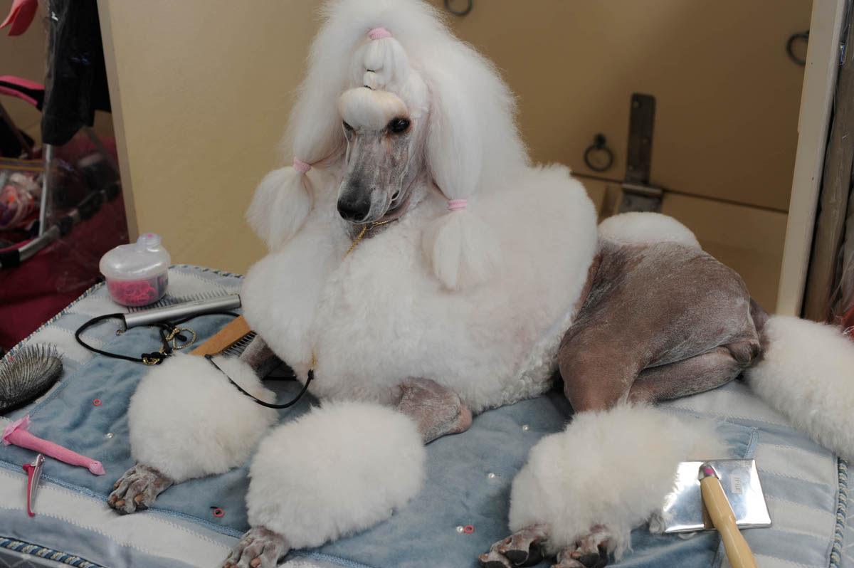 Dog show talent in hair and make up