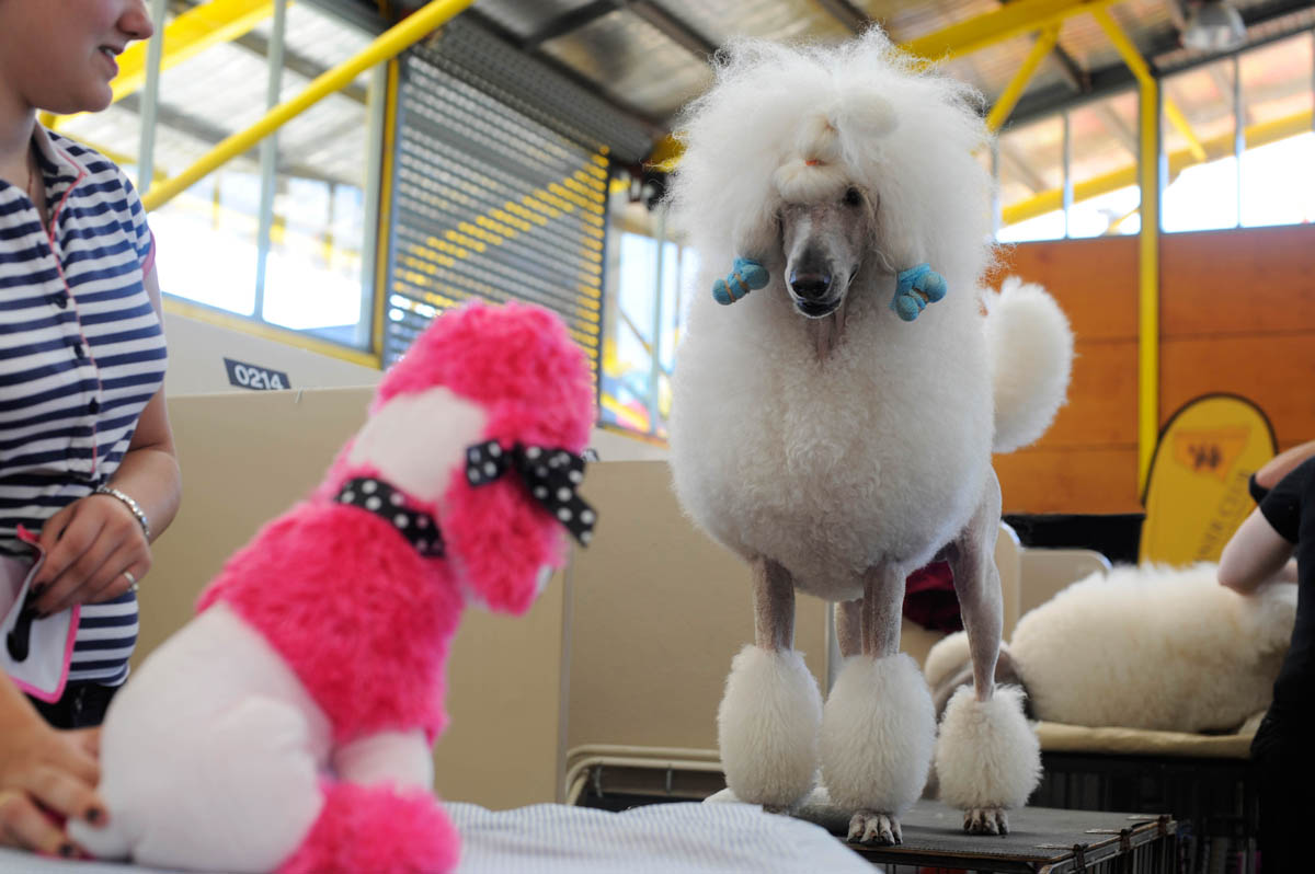 Toy Poodle and Poodle face off